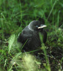 Dohle-Jungvogel
