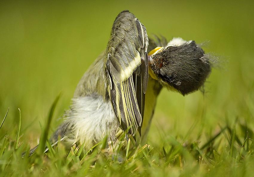 Kohlmeise-Jungvogel-putzen