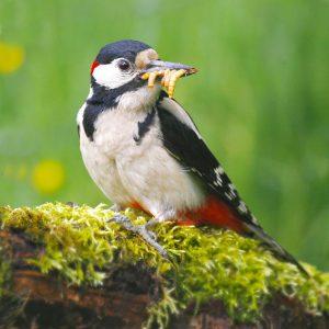 Lebende Mehlwürmer-m-Vogel