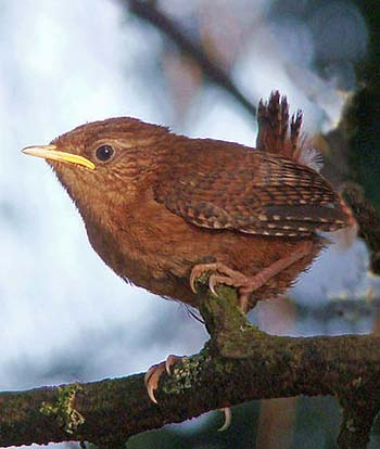 Zaunkönig-Jungvogel