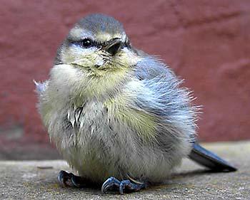 Blaumeise-Jungvogel