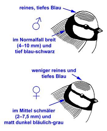 BlaumeiseSexDiff