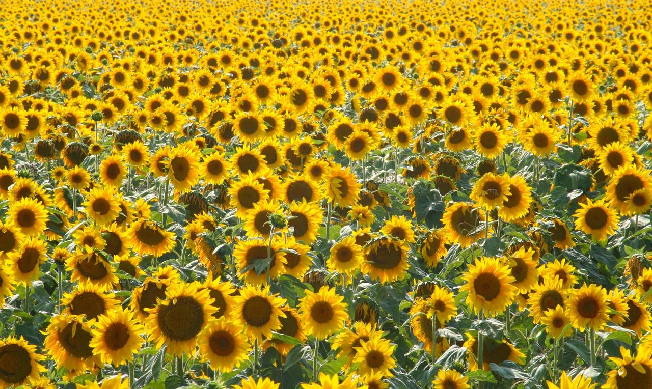 Sonnenblumen-pi