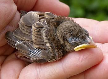 Sperling-Nestling