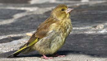 Gruenfink-Jungvogel