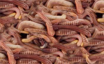 Regenwürmer lebend