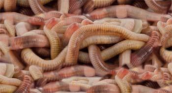 Riesen Regenwürmer lebend