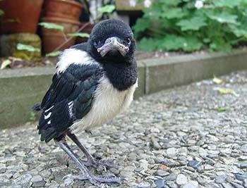 Elster Jungvogel