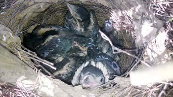 Elstern Nestlinge
