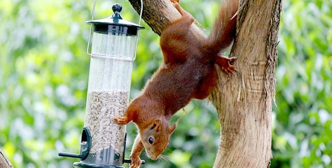 Eichhörnchen01