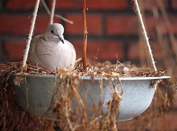 Türkentaube Nest