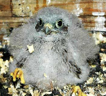 Turmfalke-Jungvogel