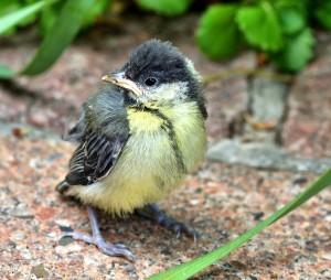 Kohlmeise-Jungvogel